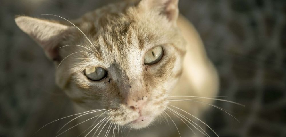 Pourquoi les chats ont une pupille verticale ?